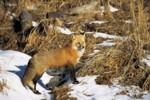 Fuchs auch als Staupeüberträger